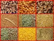 Зерно фуражное:пшеница, ячмень,  тритикале, кукуруза,  овес, рожь